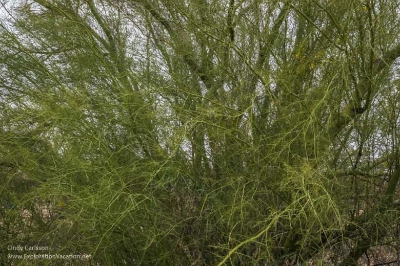 Palo verde tree in Arizona - www.ExplorationVacation.net