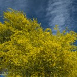palo verde tree in bloom Arizona - www.ExplorationVacation.net