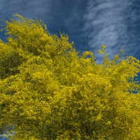 Arizona gold: Palo verde in bloom