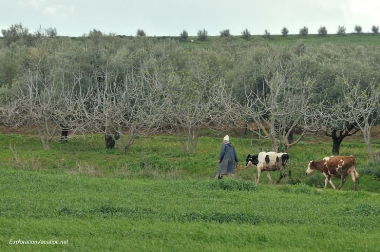 cattle road to Fes Morocco - www.ExplorationVacation.net