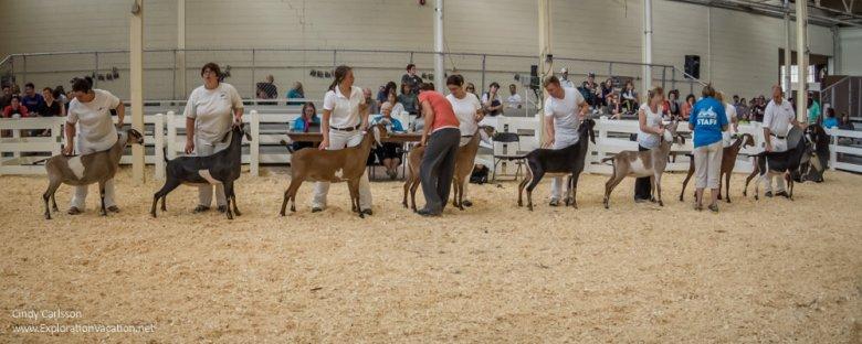 Minnesota State Fair favorites - dairy goat judging - www.ExplorationVacation.net