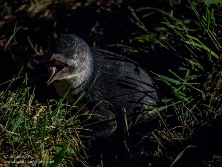 Little Blue Penguin heading back to its nest on New Zealand's Otago Peninsula - ExplorationVacation.net