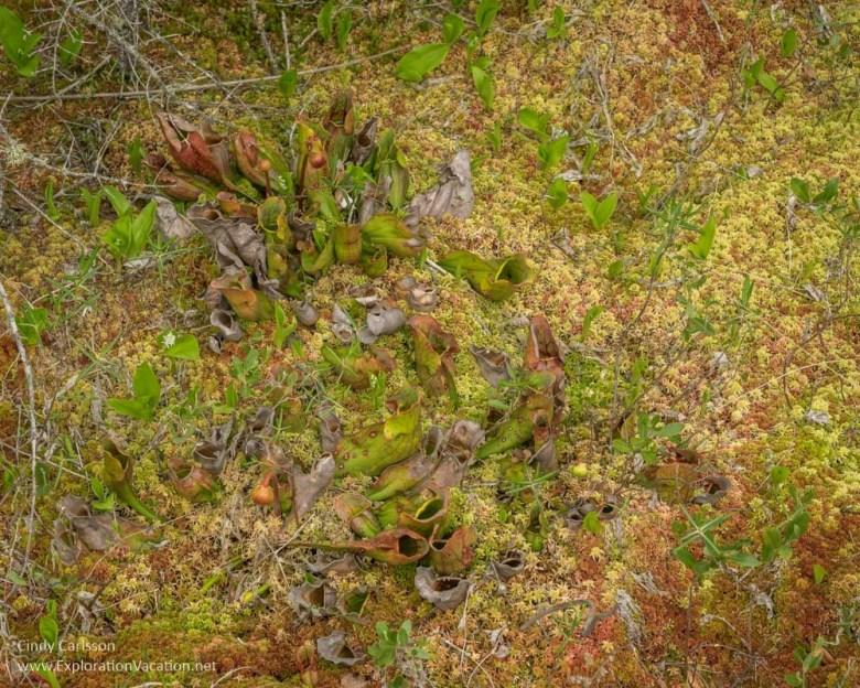 Carnivorous purple pitcher plants in Minnesota's Big Bog - ExplorationVacation.net