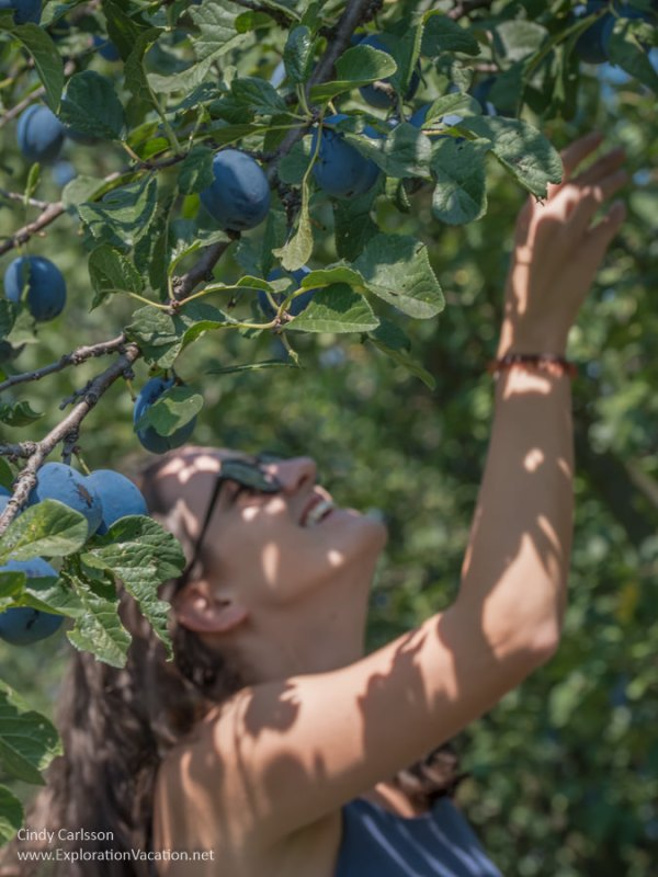 woman reaching up into a plum tree loaded with ripe plums