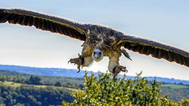 Beloglavi sup u letu sa rasponom krila od oko 3 m