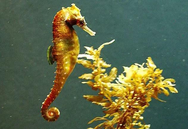 Генномодицифированный золотой морской конек, фото фотография рыбы