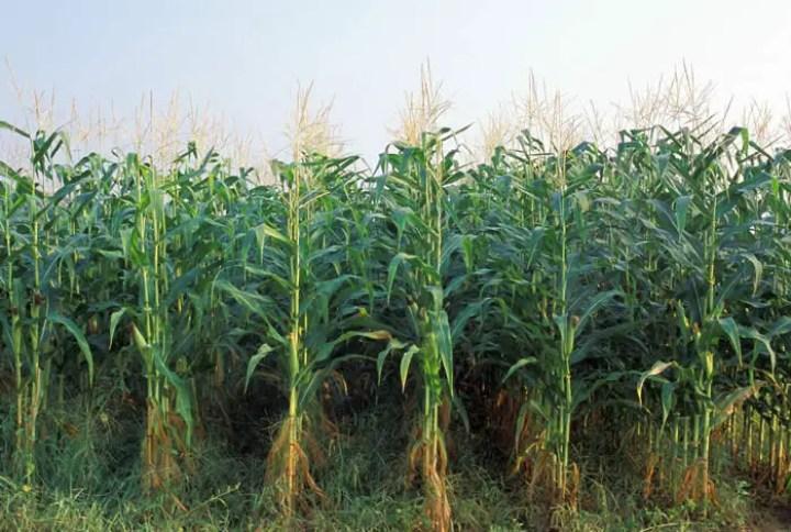 corn_000