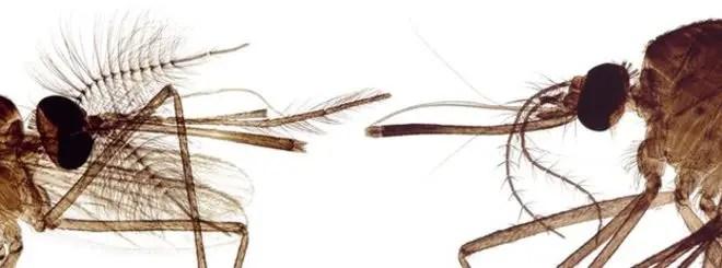 _75401789_mosquito_heads_light_micrograph-spl