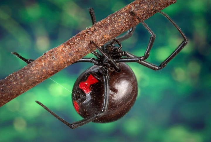 black-widow-spider-1326928_960_720