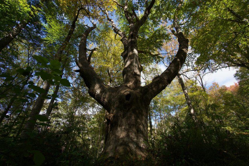 Hurd Wolf Tree