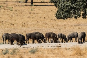 Iberian pig feeding on the mediterranean forest Explore la Tierra