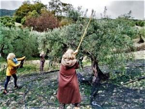Olive oil tour vareo tourists in white village Zahara de la Sierra Cadiz