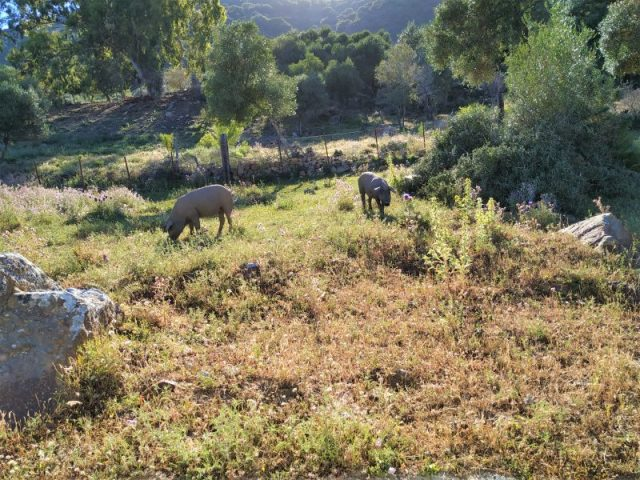 bosque mediterráneo Los alcornocales parque natural senderismo Cadiz Tarifa cerdos ibérico dehesa