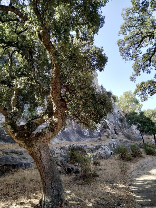 secondary cork oak extraction. Almost ready for cork extraction in Cadiz