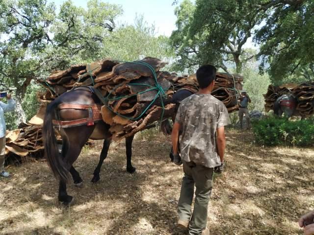 Extraccion del corcho alcornoque tour in Los Alcornocales natural park with mules carrying cork