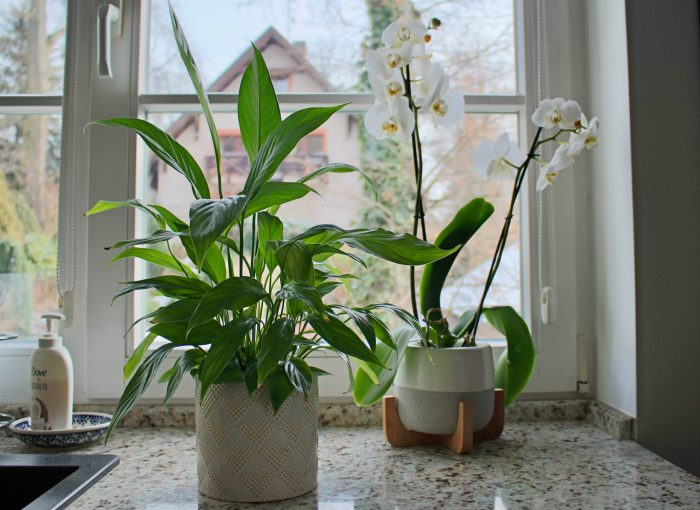A happy peace lily