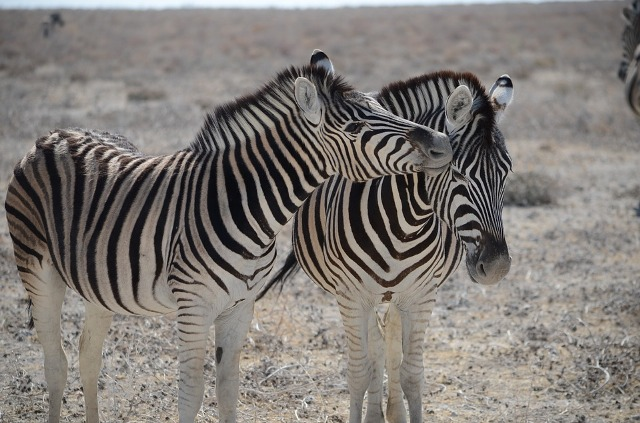 Safari in Namibia – Quiver Trees, lions, zebras, giraffes and more….