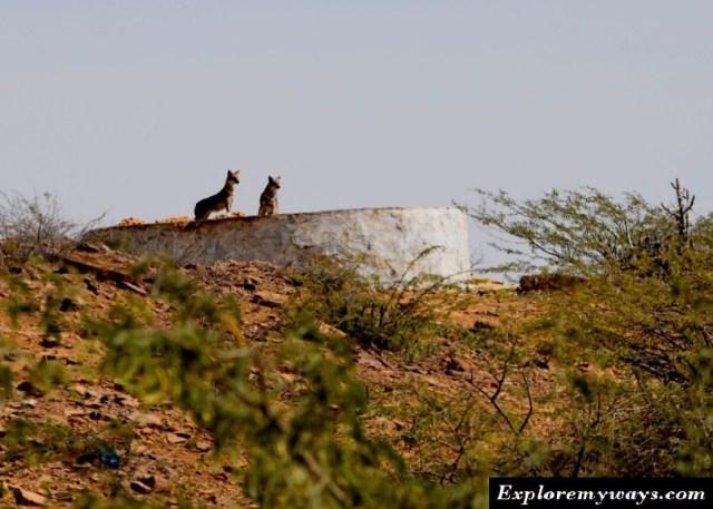 Jackals at the Kalo dungar temple