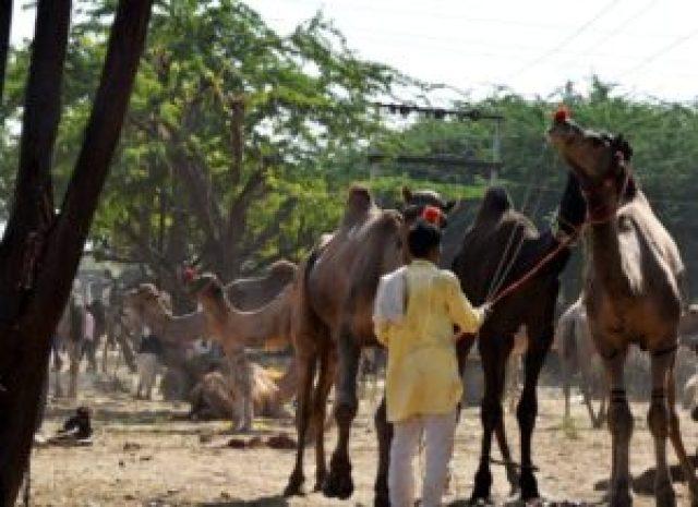 Different breed of camel in Pushkar fair