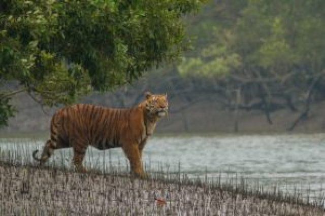 Tiger of Sundarban
