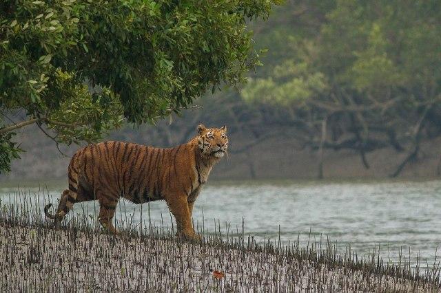 Tiger of Sundarban