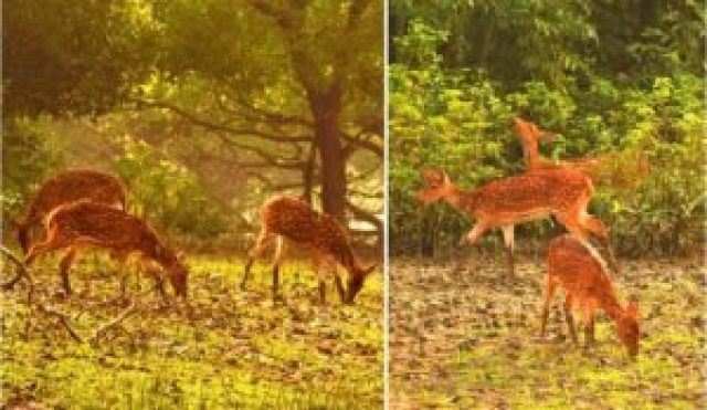spotted deer at Bhitarkanika forest