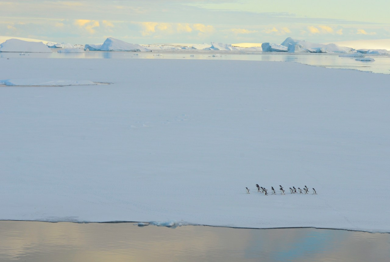Penguins such as these Gentoos rely on sea ice, partly because it provides habitat for juvenile krill.