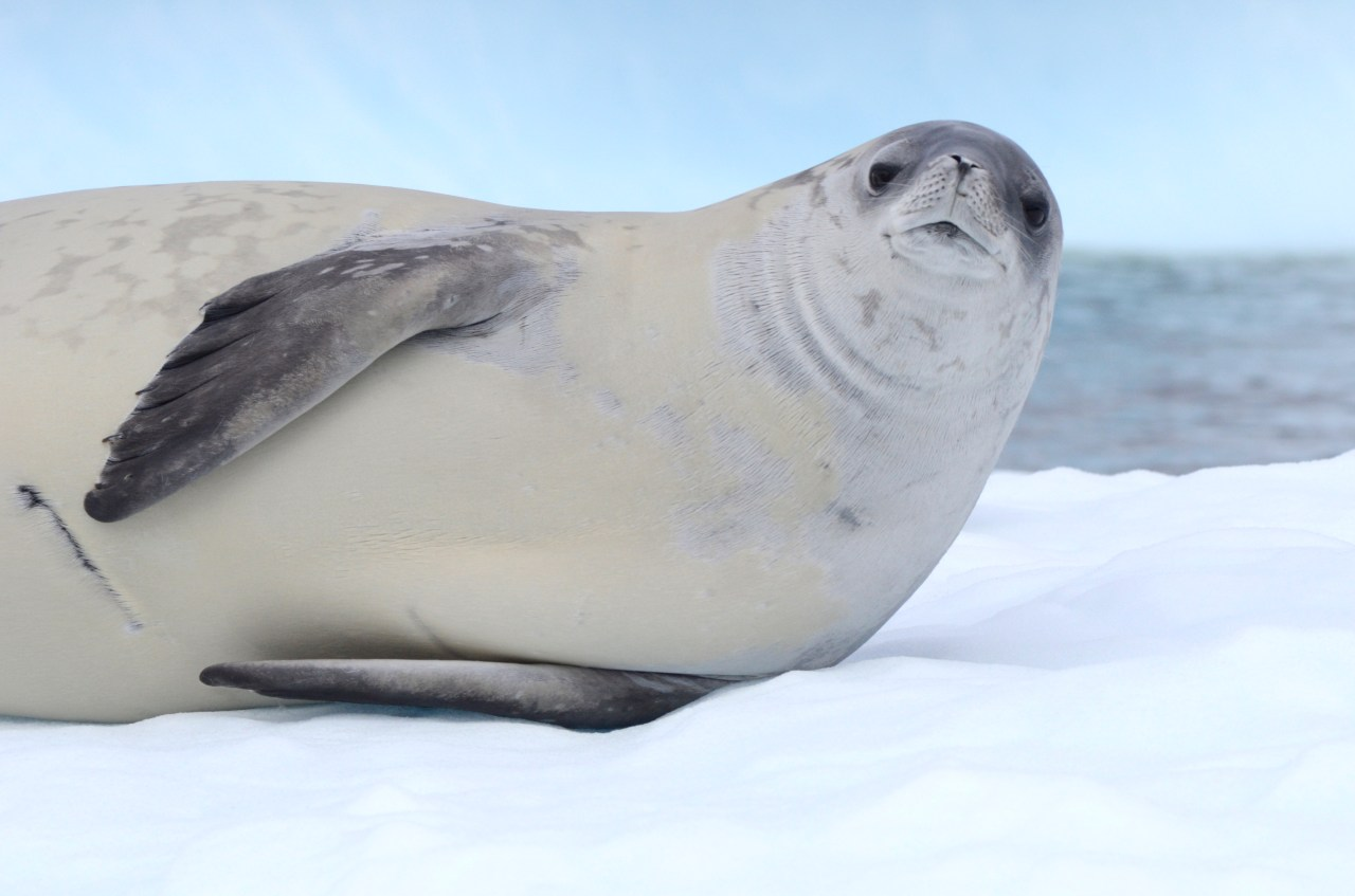 Crabeater seals are entirely dependent on krill. Their multi-lobed teeth interlock, allowing them to strain their prey from the water.