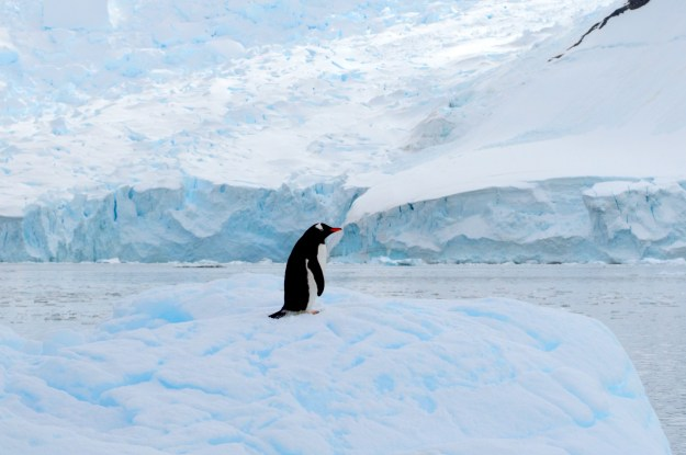 In a warming Antarctica, Adélie penguins (left) are shrinking in range while the adaptable Gentoo penguins (right) are expanding.
