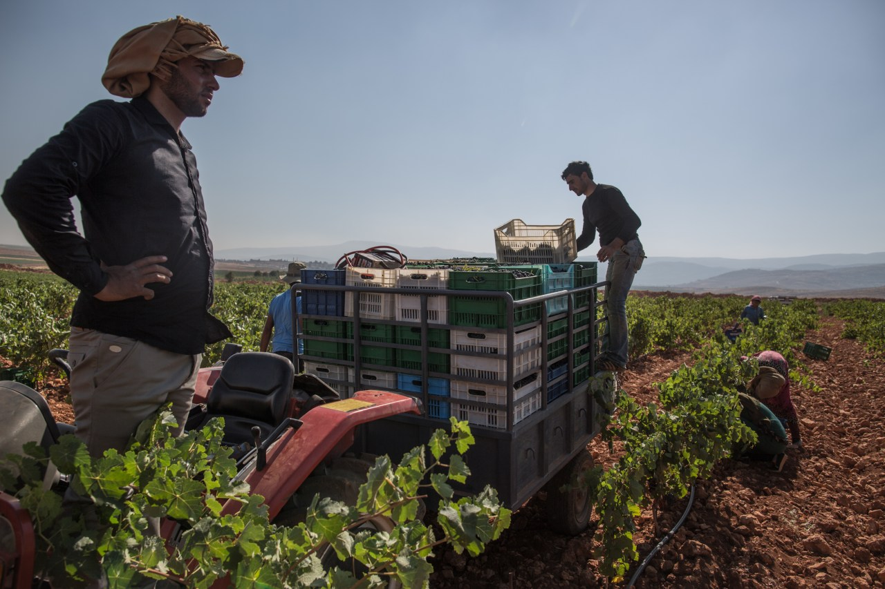 Workers pick grapes.