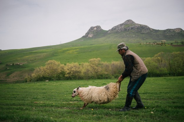 Photo 1: A shepherd improvise a little surgery on a sick sheep during transumance. Photo 2: Ivane Zuraidze, 39, reanimate a too slow sheep.