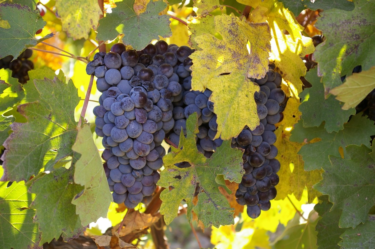 Bunches of Areni grapes hang from thriving vines in the Van Ardi vineyard, located in the village of Sasunik, Aragatsotn province, Armenia. Photo by: Christian Garbis