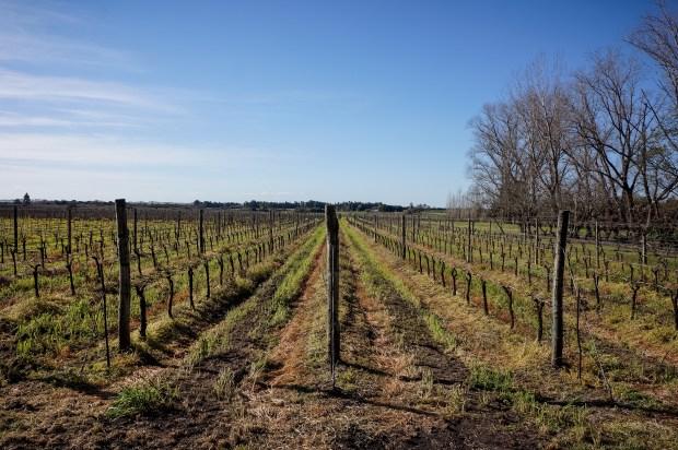 A field of wine vines at Bodega El Legado.