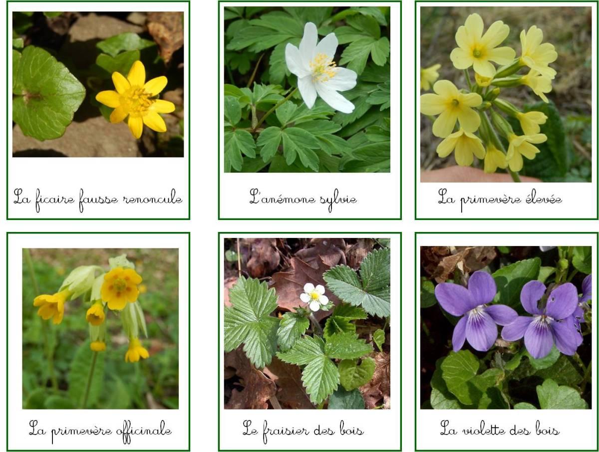 Cartes de nomenclature : les fleurs des bois