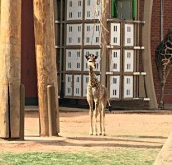 Dobby, the baby giraffe