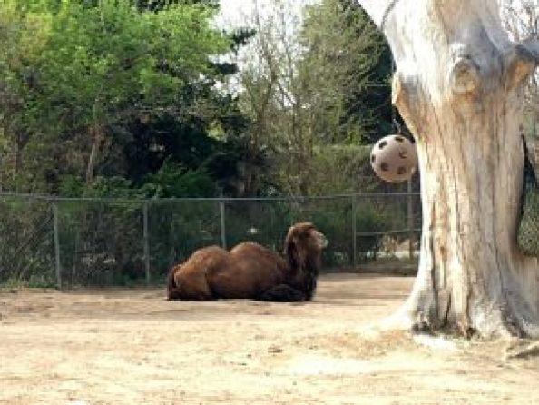 Denver Zoo camel
