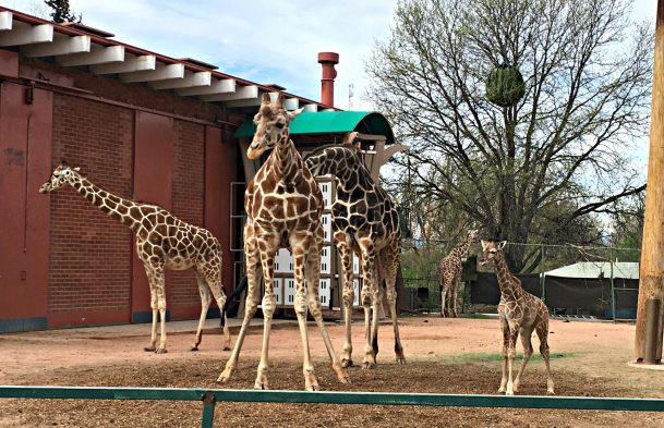 Denver Zoo giraffe family