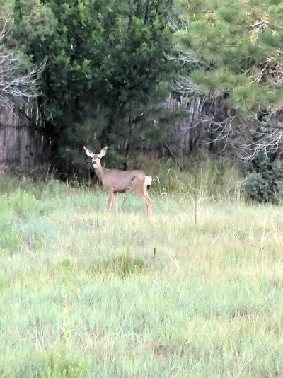 Things to do in Ruidoso, New Mexico deer