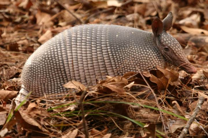 Armadillo near Buffalo Gap Texas #texasarmadillo