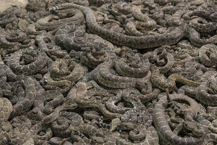 Sweetwater Texas Rattlesnake Roundup #rattlesnakes #texastourism