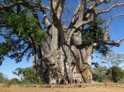 Baby baobab on Chishakwe