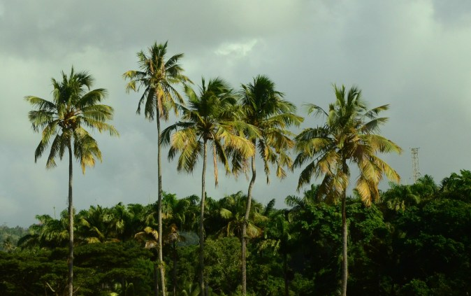 Palm trees in Basse-Terre.