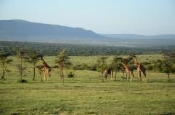 Giraffes eating of acacia trees.