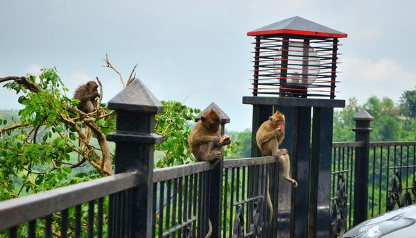 Monyet kreo