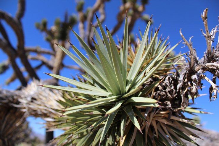 Joshua tree leaves - Mojave National Preserve