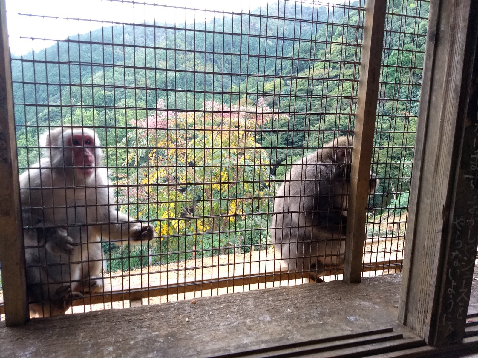 Hungry monkeys at Arashiyama Monkey Park