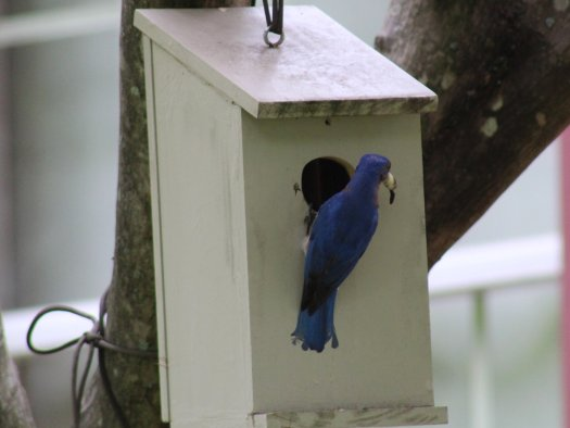 Male bluebird removing fecal sac from nestbox - 5-25-2020