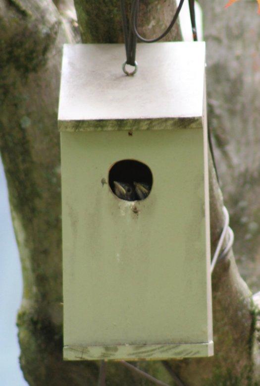 Bluebird fledglings peeking out of nestbox - 5-25-2020