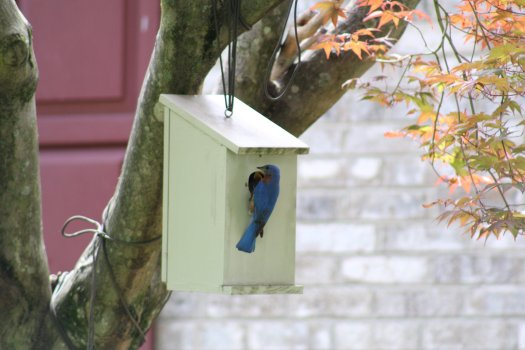 Male Bluebird at nestbox with fledglings inside - 5-25-2020