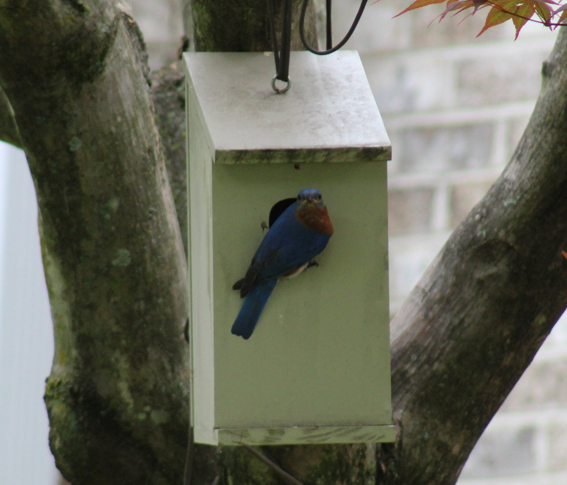 Male bluebird perched on nestbox - 5-25-2020